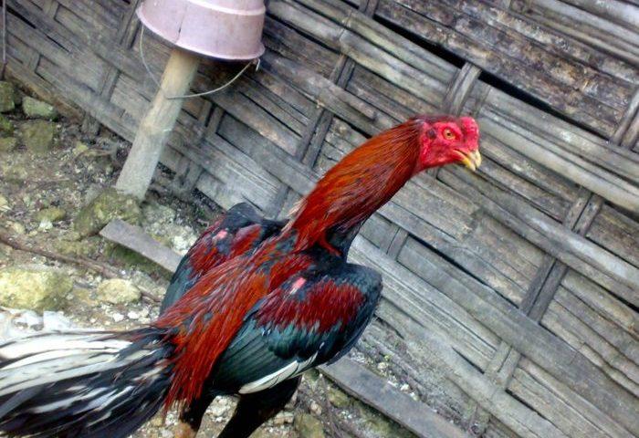 Ciri Ayam Bangkok Tipe Pukul
