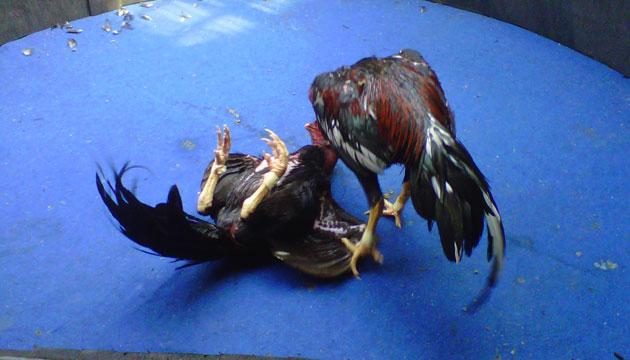 teknik nikus pada ayam aduan - sabung ayam online