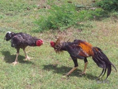 7 Ciri Utama Ayam Bangkok