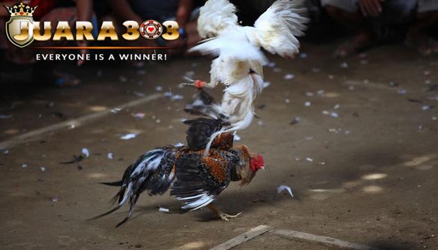 cara merawat ayam aduan bangkok