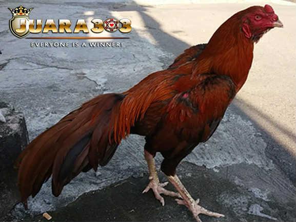 Ciri-Ciri Ayam Bangkok