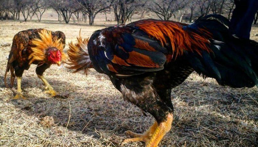 Jenis Ayam Laga
