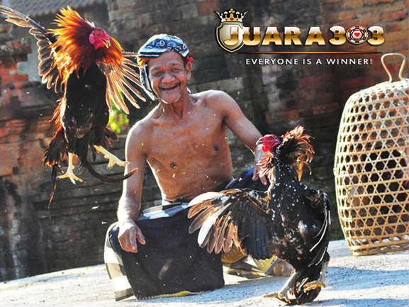 budaya sabung ayam tajen