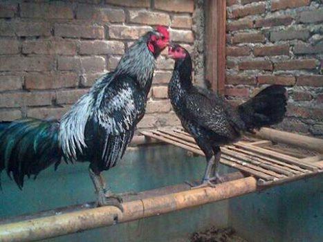 Ayam Pama dan Ayam Birma