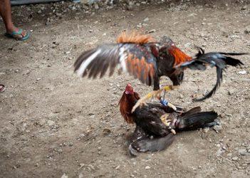 Kekuatan Utama Ayam Bangkok Dalam Laga