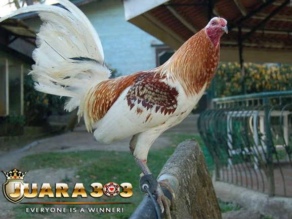 keunggulan ayam aduan