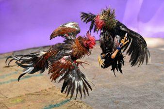 Mengenal Ciri Ayam Bangkok