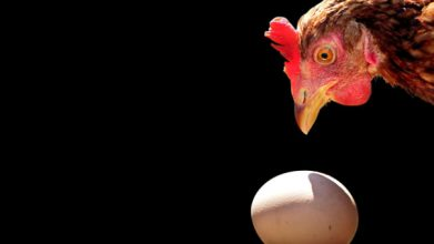 Penyebab Babon Memakan Telurnya
