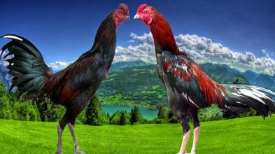 5 Ciri Utama Ayam Aduan