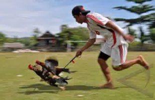 Latihan Ayam Bangkok Yang Baik dan Benar