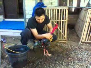 Cara Mudah Menjinakkan Ayam Bangkok