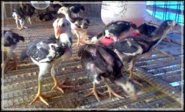 Bibit Ayam Bangkok Unggulan