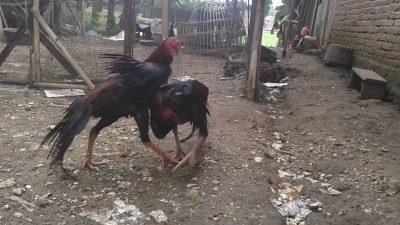 Ayam Bangkok Gombong Melegenda