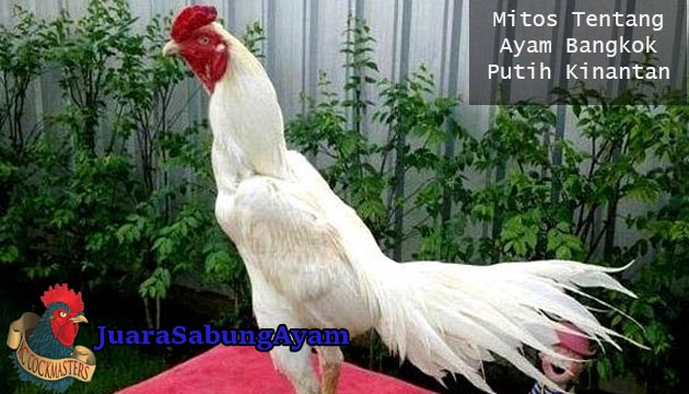 Ayam Bangkok Putih Kinantan