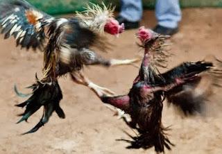 pukulan ayam