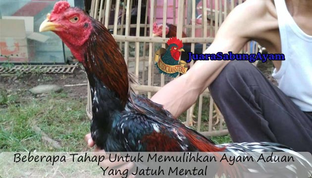 Memulihkan Ayam Aduan