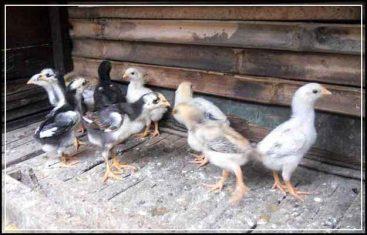 Cara Memilih Bibit Ayam