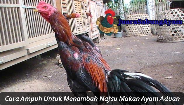 Menambah Nafsu Makan Ayam