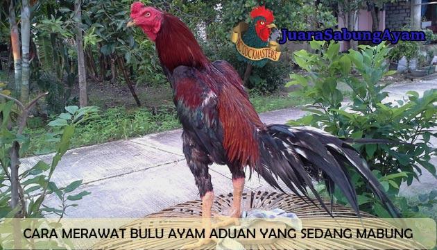 cara merawat bulu ayam