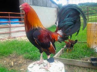 Bentuk Kaki Ayam Filipina