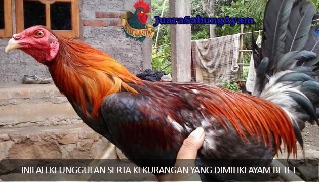 keunggulan ayam betet