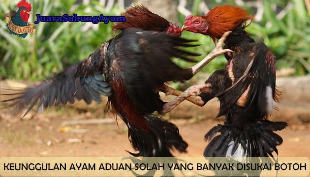 Keunggulan Ayam Aduan Solah
