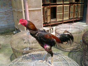 Ayam Bangkok Kopek Kopyor