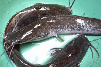 Sambiloto dan Ikan Lele