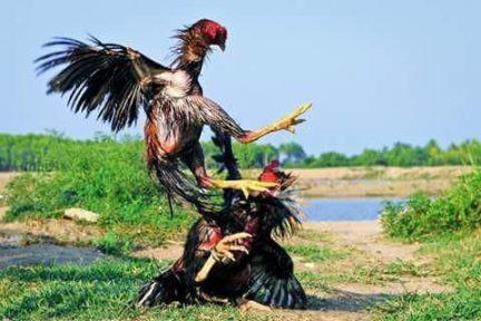 Ae Jae Ayam Birma