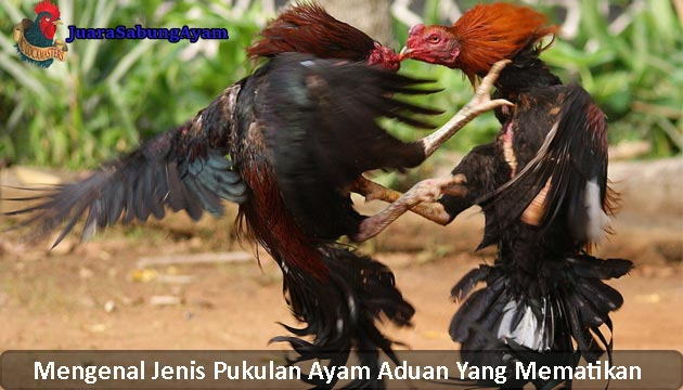 Mengenal Jenis Pukulan Ayam