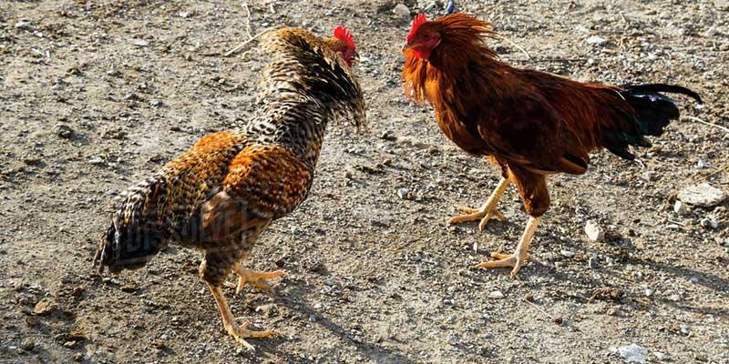 Akibat Jika Ayam Bangkok