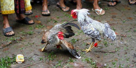 Keunggulan Ayam Aduan Brazil