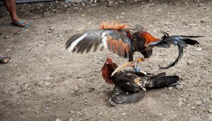 Ayam Bangkok Juara Memiliki