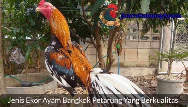 Jenis Ekor Ayam Bangkok