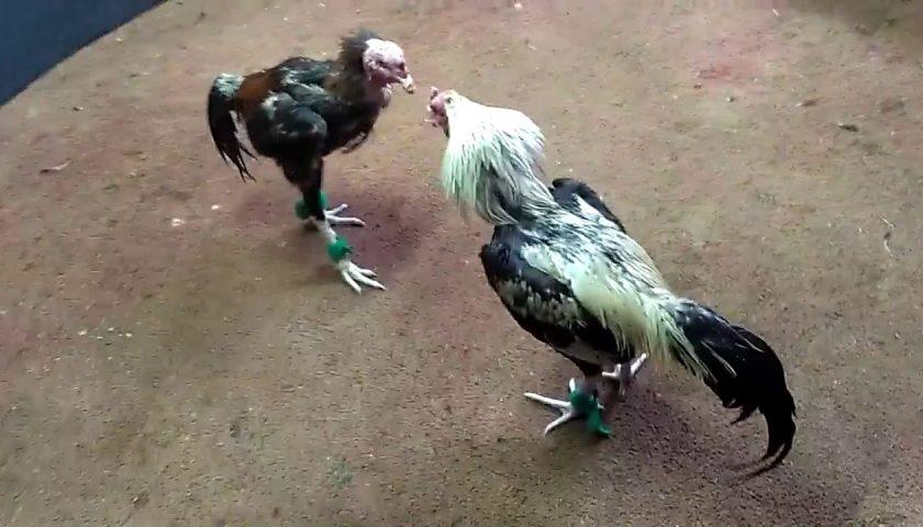 Jenis Ayam Birma Berkualitas