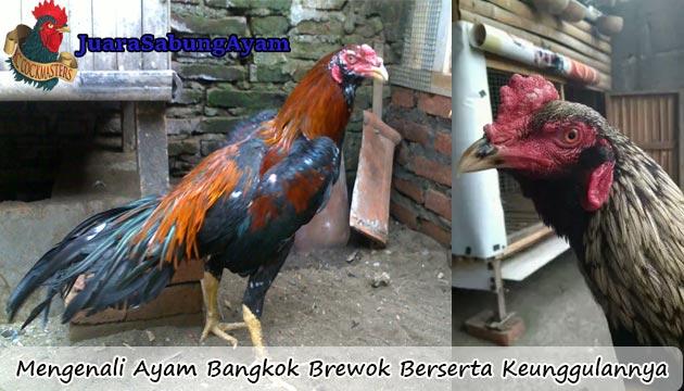 Mengenali Ayam Bangkok Brewok