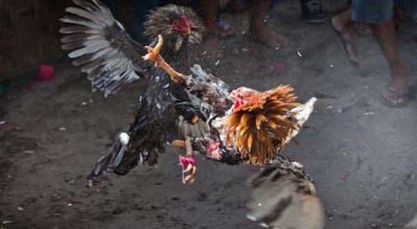 Keunggulan Ayam Pama Mahwing