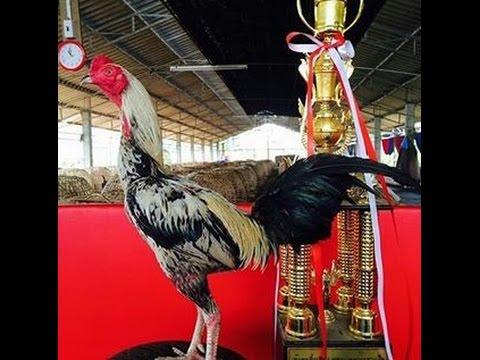 Ayam Aduan 3 Besar
