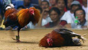 Ayam Asli Filipina