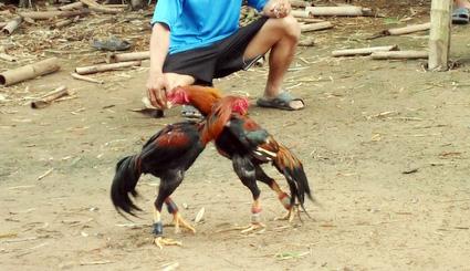 Ayam Bangkok Gombong Kebumen