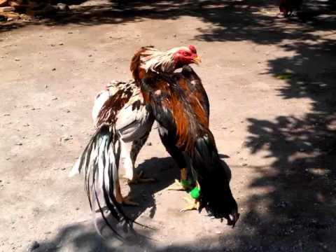 Latihan Ayam Bangkok Muda