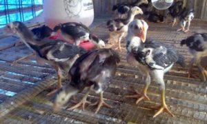 Menilai Anak Ayam Bangkok