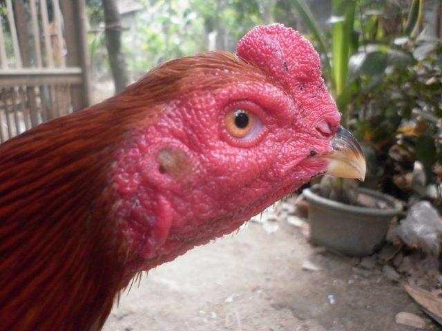 Bentuk Kepala Ayam Bangkok