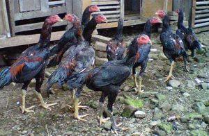Perawatan Utama Ayam Bangkok