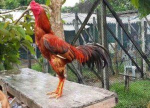 Tanda Tanda Ayam Aduan