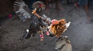 Sejarah Perkembangan Ayam Pamagon