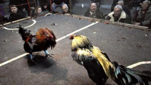 Ayam Aduan Malimping Banten
