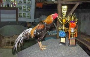 Jenis Ayam Aduan Terbaik Di Indonesia