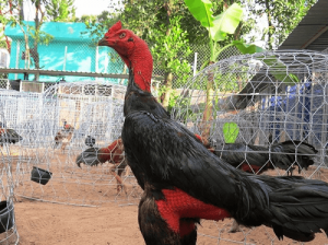 Teknik Laga Ayam Saigon