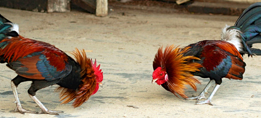 Ayam Pakhoy Ayam Aduan